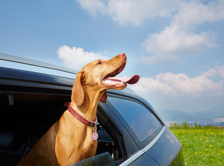 Dog with head out of car