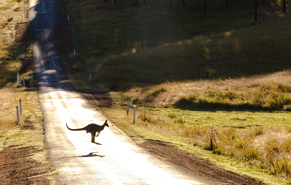 kangaroo crossing the road